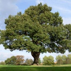 Post-Oak-Tree