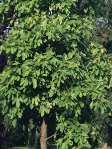 sassafras-tree